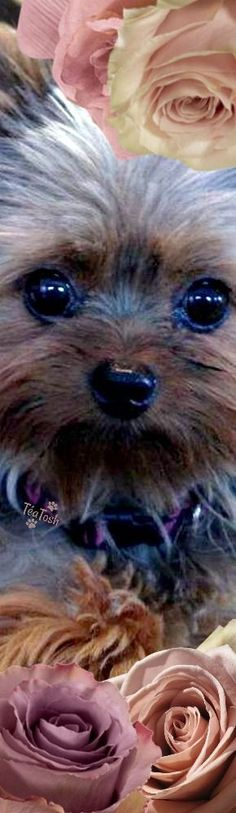 Puppy Pictures, Puppy Pics, Most Beautiful Flowers, Yorkshire Terrier, Dog Life, Cool Style, Cute Animals, Puppies, Yorkies