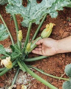 Όσα πρέπει να γνωρίζουμε για την καλλιέργεια της κολοκυθιάς, τις διάφορες ποικιλίες, το πότισμα, τη φροντίδα και την προστασία από ασθένειες. Vegetables, Simple, Flowers, Crafts, Diy, Food, Decor, Garden, Plants