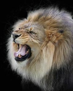 Snarling Lion by Jacqueline Jamison on ARTwanted