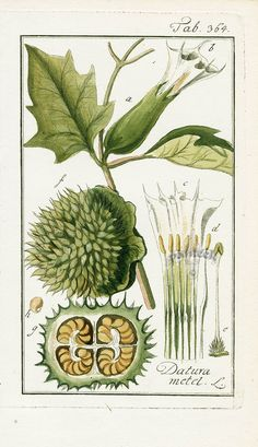 Antique botanical prints from Zorn 1779-1790