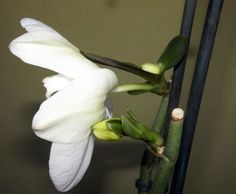 как обрезать цветонос у фаленопсиса