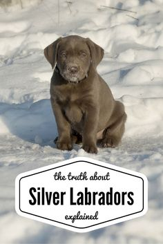 Everything you want to know about the fascinating Silver Labrador