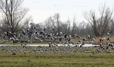 De grote ganzenpopulatie trekt jagers aan die illegaal schieten en vangen. Toezicht ontbreekt, zegt de Faunabescherming.