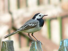 White Wagtail - Iceland, 1999