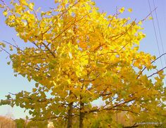 https://flic.kr/p/ADrcGL | MY GOLDEN GINKGO | ''GOLDEN GINKGO HAIKU''   ''Golden ginkgo leaves Fluttering and flashing Gold Just before they fall.''  I took this last photo of my Ginkgo tree for this year, since due to the wind it has already lost leaves and is showing some bare branches. This is as Gold as it will get this year.