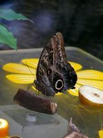 Butterflies are attracted to over-ripe fruit.