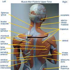 muscle_man_small_posterior_uppertorso_labeled.png 600×600 pixels