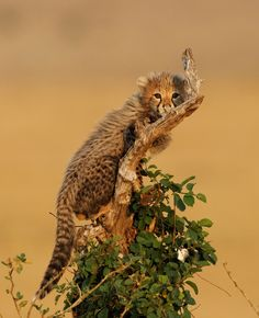 Cheetah Cub on a Tree, Masai Mara, Kenya 2010 by Olivier Delaere
