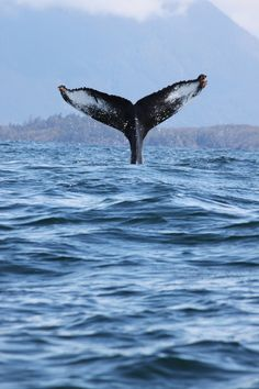 Whale watching in Tofino BC