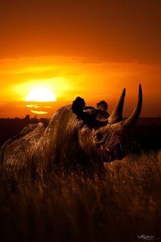 Rhino Sunset Kifaru, Kenya by Kulmiye Chan Beautiful Creatures, Animals Beautiful, Rhino Art, Save The Rhino, African Sunset, Viewing Wildlife, Out Of Africa, African Animals, African Elephant