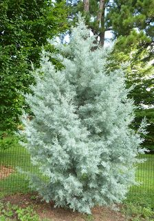 """In the scorching summer heat, a glance at the cool powdery blue 'Blue Ice' Arizona Cypress (Cupressus arizonica var. glabra 'Blue Ice') might give you a brief respite from the unmerciful temperatures. This fast growing, dense, pyramidal shaped conifer was selected as one of the """"Best Woody Plants of 2007 """"by the University of Tennessee."""
