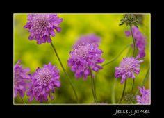 Pincushion flowers