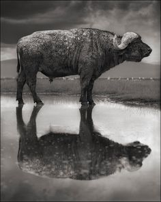 Buffalo Lake Natron, Tanzania. Photo: Nick Brandt