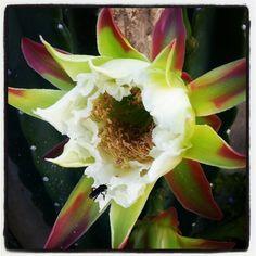 Flor do Mandacaru