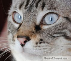Siamese Tabby Cat | light-blue. She is a Tabby Point Siamese (half Siamese, half Tabby cat ...