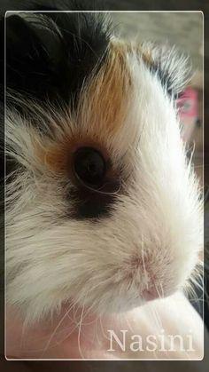 Come sono bella dopo il bagnetto  #Guinea #Pig