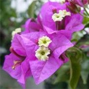 How to Grow Bougainvillea. Bougainvillea is a tropical, shrub-like vine that bursts forth with colorful flowers for 11 months of the year if it's planted in the right climate. To grow bougainvillea, plant it in full sun, slightly acidic. Flowers, Growing Flowers, Blossom Garden, Bougainvillea, Ornamental Plants, Conservatory Plants, Rainforest Plants, Plants, Planting Flowers