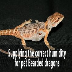 Supplying the correct humidity for pet Bearded dragons Bearded Dragon Supplies, Bearded Dragon Food, Bearded Dragon Terrarium, Lizard Dragon, Pet Dragon, Bearded Dragon Enclosure, Dragon Facts, Pet Turtle, The Lone Ranger