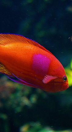 "And I shall call you, ""spot!"" Beautiful god, orang, marin, colors, tropical fish, sea, beauty, eyes, colorful fish"