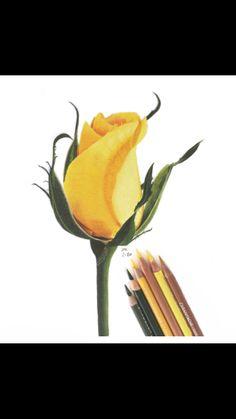 Jennifer Morrison Art is creating Botanical Colored Pencil Drawing Tutorials Pencil Drawing Tutorials, Pencil Art Drawings, Art Drawings Sketches, Pencil Sketching, Realistic Drawings, Colour Pencil Shading, Color Pencil Sketch, Colored Pencil Tutorial, Colored Pencil Techniques