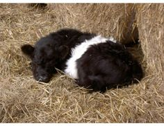I want a miniature belted galloway calf. Plush Animals, Farm Animals, Animals And Pets, Cute Animals, Pet Cows, Baby Cows, Mundo Animal, My Animal, Galloway Cattle