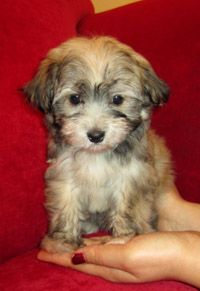 Havanese - I refuse to get a little dog..but if I have to, I want this precious thing.