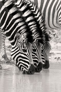 Look closely at the subtle differences in the strips on each zebra's face. Zebra stripes are as distinctive as fingerprints. Nature Animals, Animals And Pets, Funny Animals, Cute Animals, Nature Nature, Wild Nature, Mother Nature, Wild Life, Zebras