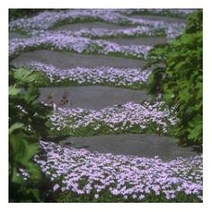 Pratia - Blåkryb - Blue star creeper Pratia pedunculata also goes by the name Isotoma.  Pot grown low growing full hardy evergreen. Brilliant plant for for ground cover, ideal for planting between paths, paving stones, rock gardens, around ponds, in pots, anywhere!