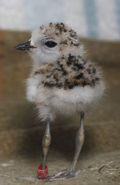 Staff at the Monterey Bay Aquarium are raising three Snowy Plover chicks, an endangered species. The aquarium's rehabilitators believe these little guys have an excellent chance of being successfully re-released back into the wild.