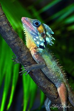 These dragons grow to around 45cm long an live in the north Queensland rainforests.