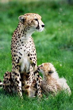 Cheetah & Cub 7 - Whipsnade 11.08.2012 | Flickr - Photo Sharing!