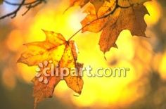 Clipart.com Closeup | Royalty-Free Image of autumn,blur,branches,bright,climate,close-up,decoration,decorative,fall,focus,foliage,leaf,leafage,leafy,leaves,maple,natural,nature,nerves,oak,outdoor,phytology,plant,red,season,seasonal,shadow