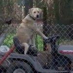 WTF : une équipe télé repère un chien sur une tondeuse