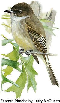 Eastern Phoebe - I love hearing this bird outside my window, calling my name! :)