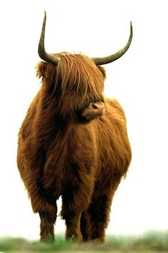 In the 'National Parc De Hoge Veluwe' locally called the 'Postbank' we bumped into yhese wonderful creatures. Scottish Highland Cow, Highland Cattle, Fluffy Cows, Fluffy Animals, Farm Animals, Animals And Pets, Cute Animals, Beautiful Creatures, Animals Beautiful