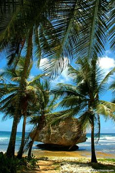 Barbados / rock hidden by palm trees / photo by MladenB Barbados Beaches, Barbados Travel, Tropical Beaches, Palmiers, Bahamas, Maurice, Beach Scenes, Tropical Paradise, Beach Pictures
