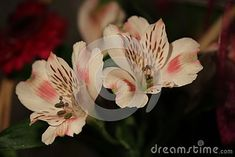 Detail blooming pink-white Freesia