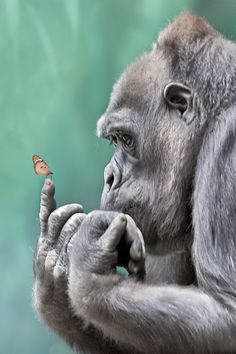 So many people pin this picture of an ape looking at a butterfly. But I can't help thinking someone has superimposed a butterfly on the ape's forefinger. In truth I would like to think he or she picked their nose and was caught examining the contents!. But that maybe just my sense of humour... :)