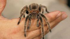6 Rose Hair Tarantula Facts & Care Tips | Pet Tarantulas