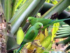 Die Mundräuber – Papageien als Bananenfresser in Peters Garten in Sao Paulo, Brasilien