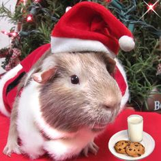 Hoodwin the Guinea Pig is impersonating Santa so he can get the cookies and milk!
