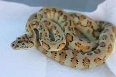 Carmel Jaguar Carpet Python produced by Marc Buhaly. Those eyes are gorgeous!
