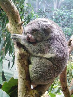 Koala Bear at the Cleveland Metroparks Zoo