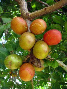 Seriguela ~ Spondias purpurea is a species of flowering plant in the cashew family.