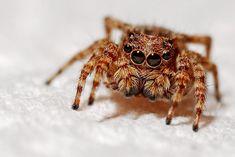 Jak je to s jedovatými pavouky