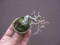 盆栽:ニオイカエデのミニ