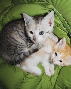 Me and my brother #bestfriends! Don't be shy and look to this profile and see my other family! Now only my other brother and sister is on it and a picture of me alone! (I ALSO HAVE TWO OTHER BROTHERS HAHA) :D I love being here! And I love instagram!  Aren't we just #cutecats haha!  #kittens #whitekitten #gingerkitten #kittenmodel #kittenplay #cuteanimals #catastic #catsofinstagram #cat #littlecat #modelcat #kittensofinstagram #kittencute #adorablekittens #tabbycat #twincat #twokittens…