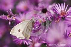 Photo about Cabbage white butterfly on purple flowers. Image of butterfly, antenna, small - 78547256 Cabbage Butterfly, White Butterfly, Butterfly Flowers, Purple Flowers, Stock Photos, Photography, Animals, Image, Animales