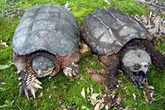 Common and alligator snapping turtles.