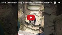 SCG VIRALS: It Got Grandma!: Chimp at Zoo Throws Poo in Grandma's Face! 😲 Bet grandma didn't see THAT coming. The video has been viewed over 2.5M times in just a few days...